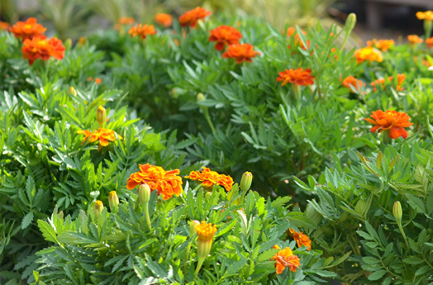 Marigolds, McDonald Garden Center